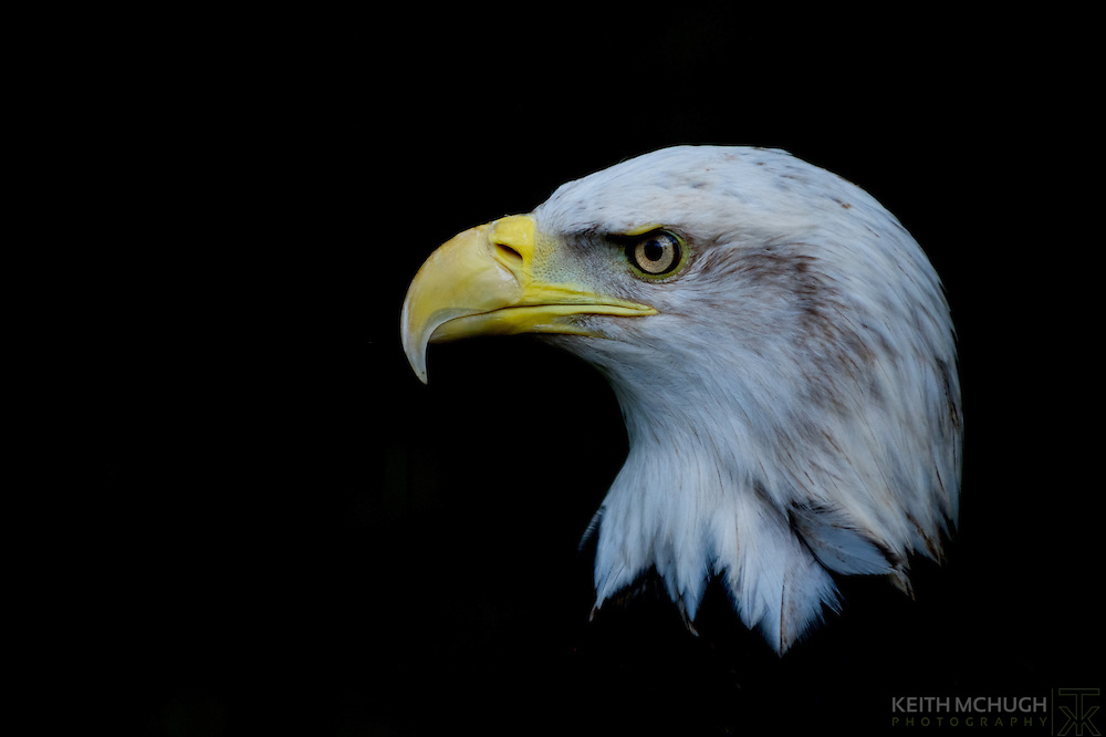 Male Bald Eagle's head profile