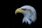 Male Bald Eagle's head profile