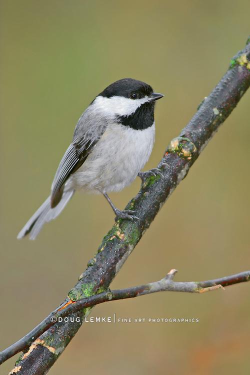 A Tiny Cute Bird, The Carolina chickadee, Poecile carolinensis, On A Rainy Day, Southwestern Ohio, USA