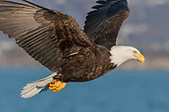 Bald eagle in flight over ocean water passing closeby, coastline in background, © 2005 David A. Ponton