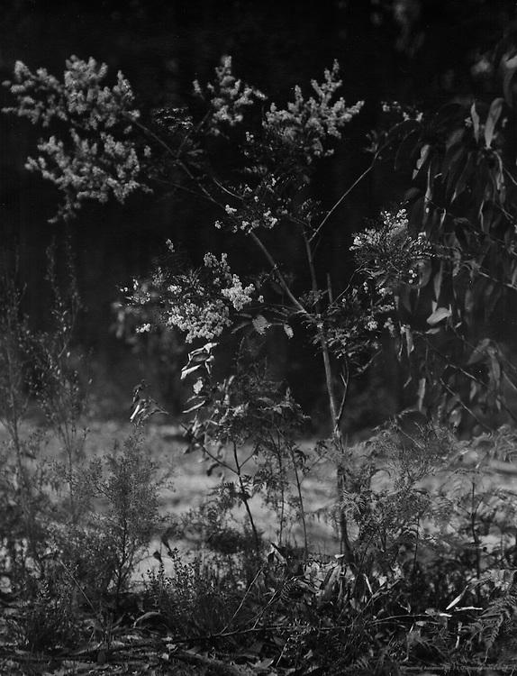 Wattle Tree, Australia, 1930