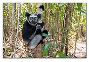 Indri in the forest of Palmarium Nature Reserve, Madagascar. Nikon D850, 18-35mm @ 35mm, f4.5, EV-0.33, 1/125sec, ISO400, SB900 fill -in flash, manual
