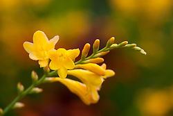Crocosmia 'Walberton Yellow' syn. 'Walcroy'. Montbretia