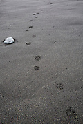 Arctic fox track in black sands on Glacial Lagoon Beach, Iceland. Jokulsarlon Beach.