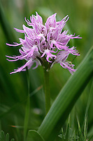 Naked Man Orchid (Orchis italica), Kayalar, Northern Cyprus