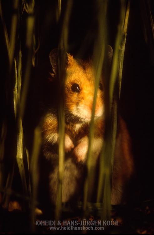 Deutschland, DEU, Cuxhaven: Goldhamster (Mesocricetus auratus) bei der nächtlichen Suche nach Futter in einem Feld. Goldhamster sind Nachttiere. | Germany, DEU, Cuxhaven: Golden Hamster (Mesocricetus auratus) at night in a field searching for food, on the alert, Golden Hamsters are nocturnal animals. |