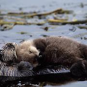 Sea Otter, (Enhydra lutris) Mother cuddles baby among kelp bed. Aleutian Islands. Alaska.