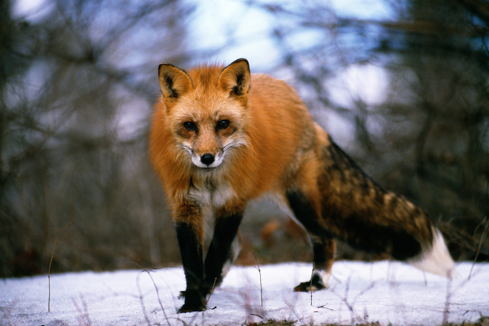 Red Fox walking on snow-covered land