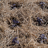 Young purple basil plants in deep straw mulch