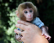 BRENDAN FITTERER  |  Times.PT_327165_FITT_tiger_2 (08/20/2010 Dade City) .Kathy Stearns, owner of Stearns Zoological Rescue & Rehab Center in Dade City, holds Jay Jay, a teeny month-old snow macaque.