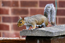 A Grey Squirrel (Scientific name Sciurus Carolinensison) sits on a wall in a British Suburban Garden<br /> <br />  Copyright Paul David Drabble<br /> 17 July 2019<br />  www.pauldaviddrabble.co.uk