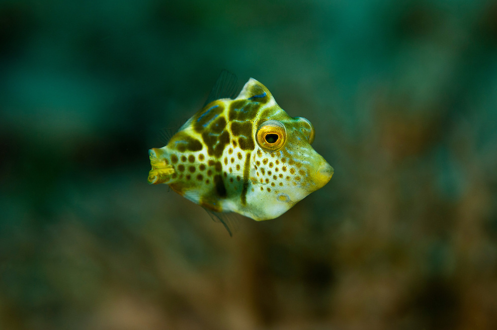 Juvenile mimic filefish, Yapen, West Papua, Indonesia.