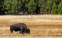 A male bison grazes in Yellowstone National Park