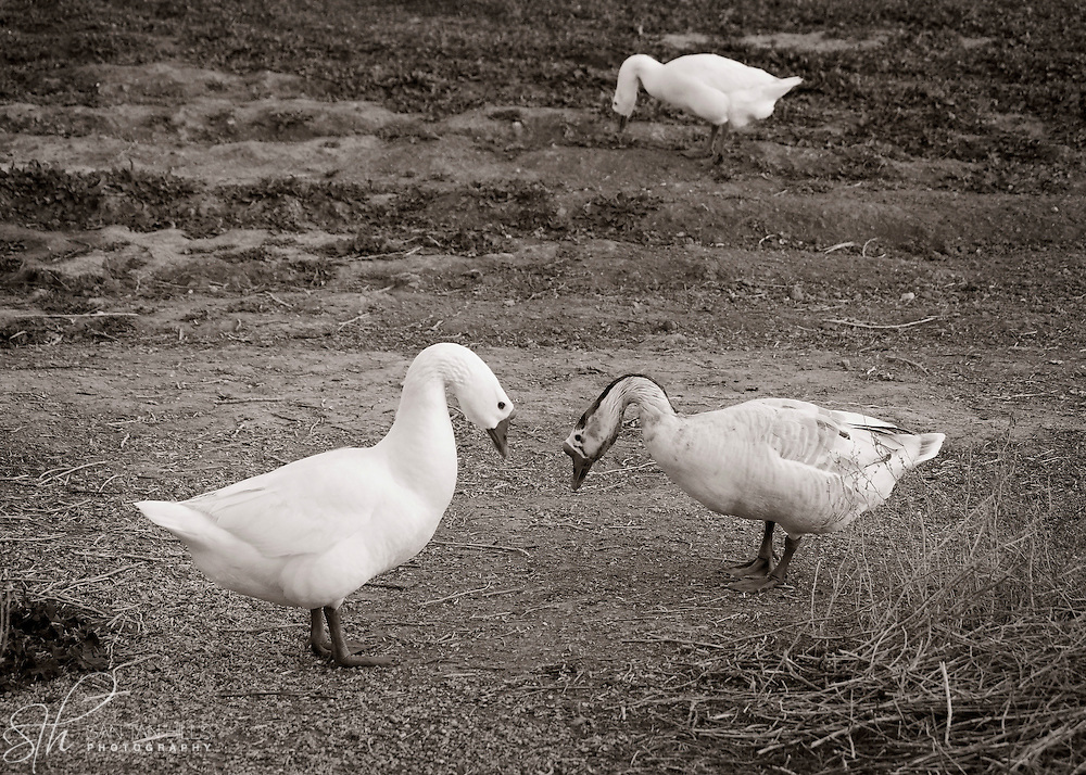 Geese interacting with each other - Riparian Preserve, Gilbert, AZ