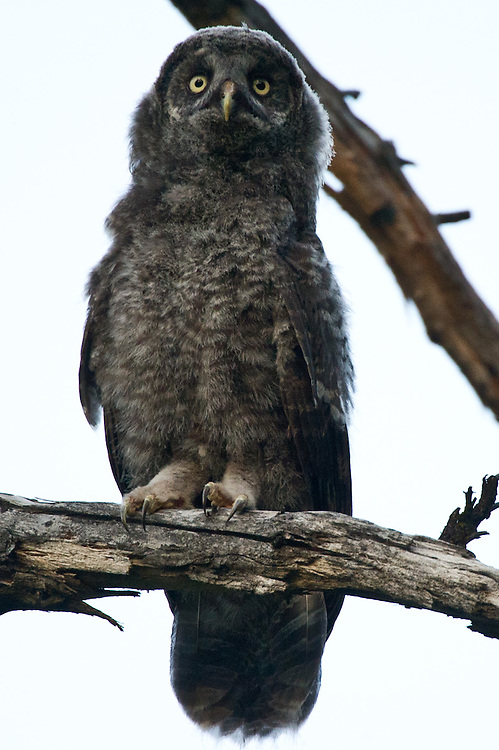 A baby Gray Owl sits and looks at his mother in a tree nearby. The Great Gray Owl is one of the most majestic and rare birds in North America. Until recently, it's been found in California almost exclusively around Yosemite, in mountain meadows. Now that's changed -- three pairs are nesting, in of all places, outside Placerville, startling scientists and bird watchers. What's more, they are nesting not in untrammeled wilderness but on a logging company's land.  Mount Aukum is a small foothills town south of Placerville, and north of Jackson is were the bird were found. July 7, 2011.
