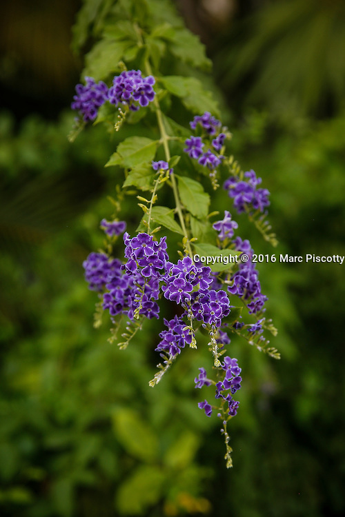 SHOT 12/8/16 4:49:08 PM - Duranta erecta is a species of flowering shrub in the verbena family Verbenaceae, native from Mexico to South America and the Caribbean. It is widely cultivated as an ornamental plant in tropical and subtropical gardens throughout the world, and has become naturalized in many places. It is considered an invasive species in Australia, China, South Africa and on several Pacific Islands. Common names include golden dewdrop, pigeon berry, and skyflower. In Mexico, the native Nahuatl name for the plant is xcambocoché. The leaves are light green, elliptic to ovate, opposite, and grow up to 7.5 cm (3.0 in) long and 3.5 cm (1.4 in) broad, with a 1.5 cm petiole. The flowers are light-blue or lavender, produced in tight clusters located on terminal and axillary stems, blooming almost all year long. Tulum is located in the Mayan Riviera and along the east coast of the Yucatán Peninsula on the Caribbean Sea in the state of Quintana Roo, Mexico. (Photo by Marc Piscotty / © 2016)