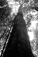 looking up the tall trees in the borneo rainforest