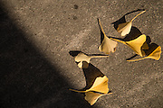 Gingko biloba leaves are scattered across sidewalks as trees lose their leaves on November 12, 2016.