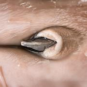 Close-up view of the penis of a sperm whale male fetus specimen, measuring 60cm to 70cm, that was found in the teaching collection of a natural history museum. The origin of the specimen is unknown.