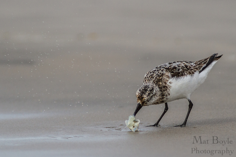 A sandpiper on the beach in Corson's Inlet in Ocean City, NJ on August 20, 2012. (photo / Mat Boyle)