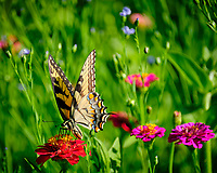 Tiger Swallowtail Butterfly feeding on a Zinnia Flower. Image taken with a Fuji X-T2 camera and 100-400 mm OIS lens