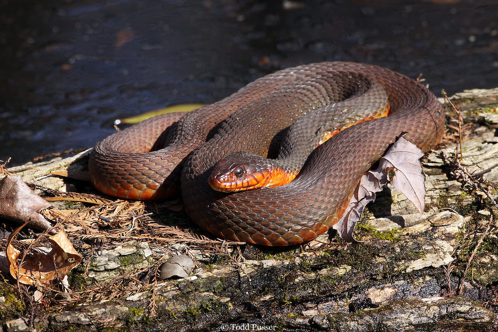 Red-bellied water snake (Nerodia erythrogaster) basking on log in early spring. Francis Beidler Forest, Dorchester County, South Carolina