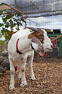 Naomi's Organic Farm Supply is a family-owned shop with a wide range of organic products including: soil amendments and fertilizer, seeds, straw, hay, compost, potting soils, livestock feeds, salts, supplements, chicken supplies, pet foods, hand tools & lots of books.  Pictured here is  their resident boer goat named Moon Shark.