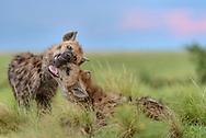 T&uuml;pfel-Hy&auml;nen (Crocuta crocuta) im Liuwa Plain Nationalpark im Westen von Sambia nahe Angola n&ouml;rdlich von Kalabo. Szenen bei einem Bau am Abend.<br /> <br /> Die T&uuml;pfelhy&auml;ne oder Fleckenhy&auml;ne (Crocuta crocuta) ist eine Raubtierart aus der Familie der Hy&auml;nen (Hyaenidae). Sie ist die gr&ouml;&szlig;te Hy&auml;nenart und durch ihr namensgebendes geflecktes Fell gekennzeichnet; ein weiteres Charakteristikum ist die &bdquo;Verm&auml;nnlichung&ldquo; des Genitaltraktes der Weibchen. Die Art bewohnt weite Teile Afrikas und ern&auml;hrt sich vorwiegend von gr&ouml;&szlig;eren, selbst gerissenen Wirbeltieren. T&uuml;pfelhy&auml;nen leben in Gruppen mit einer komplexen Sozialstruktur, die bis zu 80 Tiere umfassen k&ouml;nnen und von Weibchen dominiert werden. Die Jungtiere, die zwar bei der Geburt schon weit entwickelt sind, aber dennoch &uuml;ber ein Jahr lang ges&auml;ugt werden, werden in Gemeinschaftsbauen gro&szlig;gezogen.