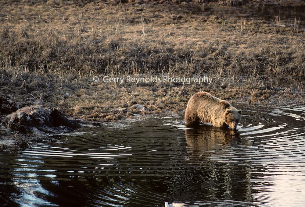 Pond, Moose, Moose carcass, Grizzly Bear, Brown Bear, Bear, Denali National Park, Alaska