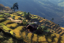 POKHARA, NEPAL - A farmer works the terraced fields next to his home in the foothills of the Annapurna range, near Pokhara, Nepal. The ecomomy of Nepal relies on agriculture with most of its workforce growing sugarcane, rice, maize, wheat, potatoes, vegetables, and tobacco in the lowlands. (Photo © Jock Fistick)