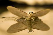 Mayflies, Hungary