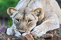 Lioness resting on rocky ground, Phinda private Game Reserve, KwaZulu Natal, South Africa
