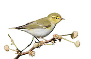 Wood Warbler - Phylloscopus sibilatrix L 11-12cm. Colourful warbler with a distinctive song and precise habitat requirements. Sexes are similar. Adult and juvenile have olive-green upperparts, bright yellow throat and supercilium, and clean white underparts. Note dark eyestripe and pale pink legs. Voice Utters a sharp tsip call. Song (likened to a coin spinning on a plate) starts with ringing notes and accelerates to a silvery trill. Status Locally common summer visitor to mature woodlands with tall trees, limited ground cover and closed canopy; Sessile Oak woods in W and N are favoured, and Beech woods elsewhere.