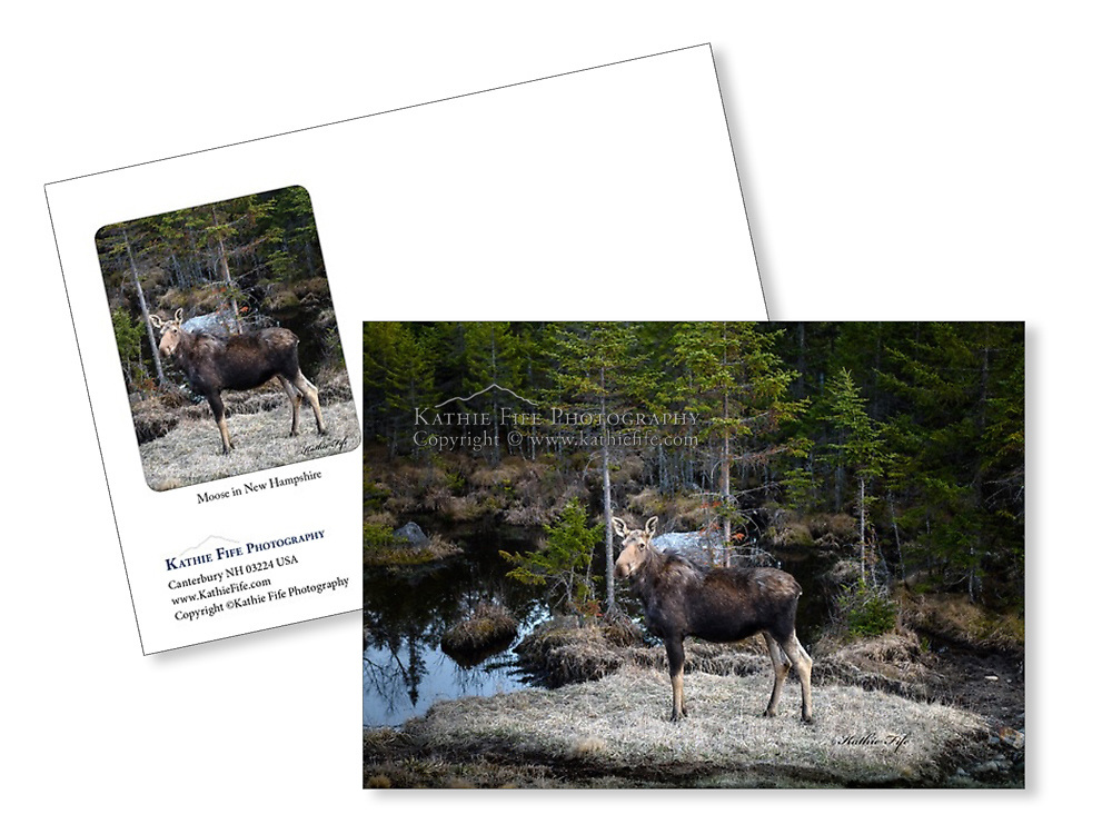 Moose greeting card. 5x7 100% recycled paper Made in USA
