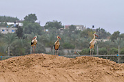 White Stork (Ciconia ciconia) foraging for food on a landfill. White storks are very large wading birds that feed on fish, frogs and insects, as well as small reptiles, rodents and smaller birds. They migrate annually from Europe to Sub-Saharan Africa. Photographed in Israel, on the Gaza border in May
