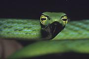 Asiatic Whipsnake; Ahaetulla prasina; Borneo; Malaysia, Sabah