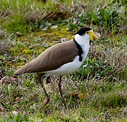 Spur-winged Plover near Pikes Wines in the Polish Hill area of Clare —