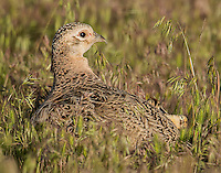 Hen pheasant with chicks