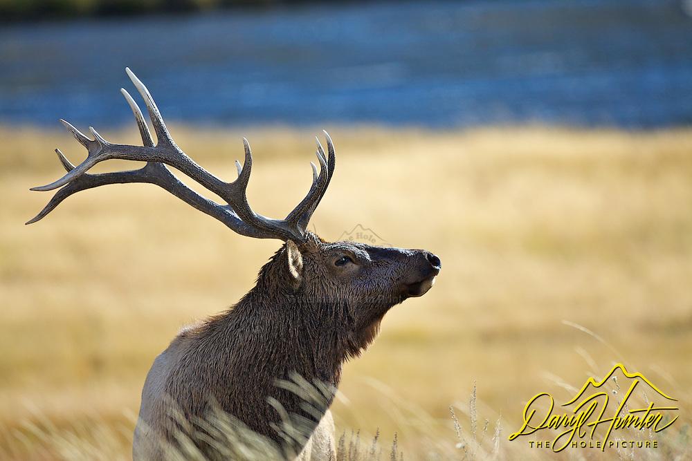 Bull elk portrait, Madison River, Yellowstone National Park