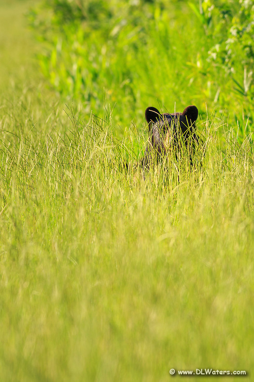 Black bear at Alligator River Wildlife Refuge peeking through the tall grass. Alligator River Wildlife has the highest concentration of black bears in North Carolina.