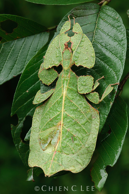 Phyllium bioculatum.  Leaf insects (family Phylliidae) are found in tropical forested areas in South and Southeast Asia.  They are slow-moving foliage eaters and rely on their incredible camouflage for defense.  West Java, Indonesia.