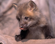 Red fox kit, 6 weeks old,  portrait, exploring, licking nose, [captive, controlled conditions] © 1999 David A. Ponton