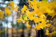 Fall foliage in Brandon, Vermont