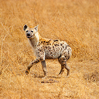 Hyena walking in the Ngorongoro Crater in Tanzania.