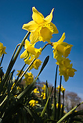 Daffodils in the Lake District in spring sunshine