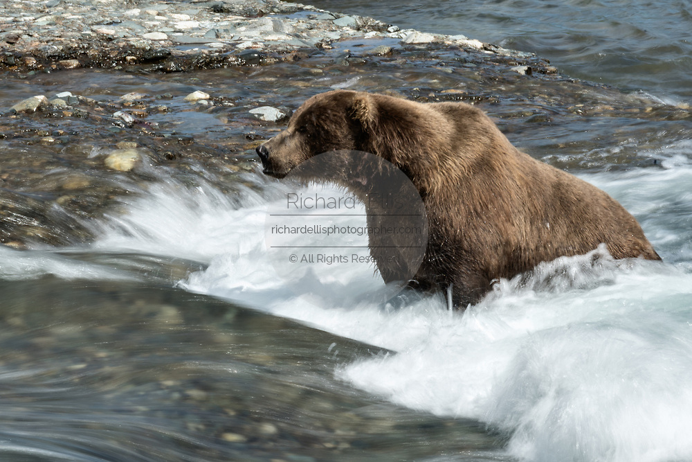 An large adult grizzly bear boar fishes for chum salmon in the upper McNeil River falls at the McNeil River State Game Sanctuary on the Kenai Peninsula, Alaska. The remote site is accessed only with a special permit and is the world's largest seasonal population of brown bears.