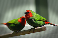Red-throated parrot finch, Perth, Western Australia
