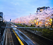 Higashi Nakano station not far from Shinjuku in Tokyo. Beautiful cherry blossom trees flank the edge of the railway line.