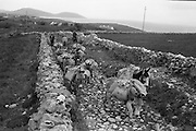 Farmers use donkeys to transport sand and cement up Croagh Patrick for work on the exterior of the Oratory. The start of the long climb with the donkeys..15-17.05.1962