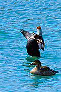 King Eider (Somateria spectabilis) Flapping its wings